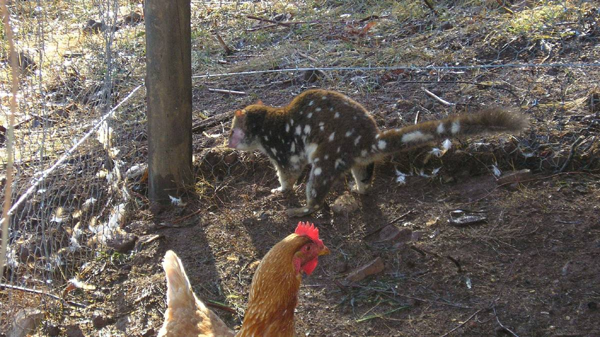 How to quoll-proof your hen house