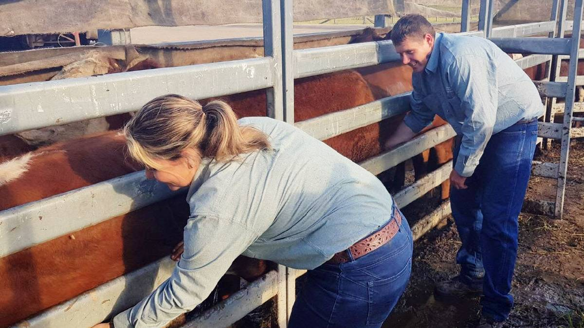 NSW Department of Primary Industries staff, Kristy Saul and Christopher Knight on the lookout for cattle ticks at the Kempsey saleyards. Photo supplied
