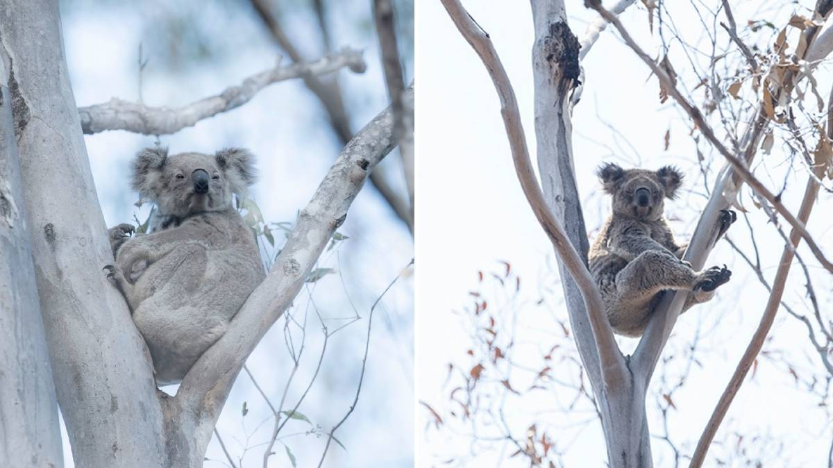 Evidence: Eight healthy koalas were spotted in the Kiwarrak State Forest fireground not long after the Hillville Road bushfires tore through the forest. The photo on the left is of a mother and baby. Photos: Bronwyn Ellis